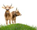 Cows on grass photo of two a field isolated Royalty Free Stock Image