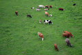 Cows on a grass walking field shot from above Royalty Free Stock Photos