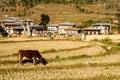 Cows graze on the Bhutan mountain Royalty Free Stock Photo
