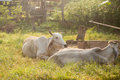 Cows graze in the meadow thailand Royalty Free Stock Images