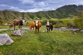 Cows graze the mountain river in summer Royalty Free Stock Photography