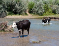 Cows graze on the river Royalty Free Stock Photography