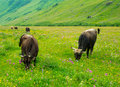 Cows graze in the valley river enguri in svaneti drink seltzer from a spring georgia Royalty Free Stock Photos