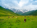 Cows graze in the valley river enguri in svaneti georgia shkhara mountain background Stock Images