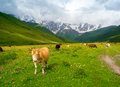 Cows graze in the valley river enguri in svaneti georgia shkhara mountain background Stock Photo
