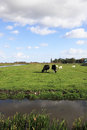 Cows are grazed on a green meadow Stock Images