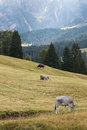 Cows grazing on alpine meadow in dolomites Stock Photo