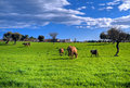 Cows grazing in apulian countryside. Royalty Free Stock Photo