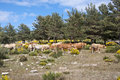 Cows grazing in casillas mountain pass iruelas valley natural park avila spain Royalty Free Stock Image
