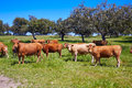 Cows grazing in Extremadura Dehesa Spain Royalty Free Stock Photo