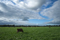 Cows grazing in the fields near delden overijssel the netherlands small town of a region called twente that lies eastern part of Royalty Free Stock Image