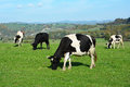 Cows grazing on a green meadow Royalty Free Stock Photo