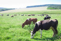 Cows grazing in green meadow the closeup Royalty Free Stock Photo