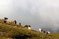 Cows grazing on a mountain pasture Royalty Free Stock Photo