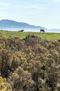 Cows grazing in the mountain of tarifa it s a vertical picture Stock Photography