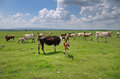 Cows grazing on wide grass land Royalty Free Stock Images
