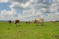 Cows grazing on wide grass land Stock Image