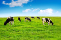 Cows on green field. Royalty Free Stock Photo