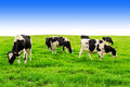 Cows on green field and blue sky. Royalty Free Stock Photo