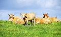 Cows on green field Royalty Free Stock Photo