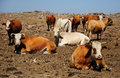 Cows herd of israeli at the pasture ground Royalty Free Stock Images