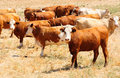 Cows herd of israeli at the pasture ground Royalty Free Stock Photography