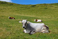 Cows on a high mountain pasture. Royalty Free Stock Photo