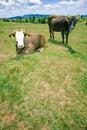 Cows hill resting 库存图片