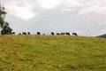 Cows on the horizon graze Royalty Free Stock Photography