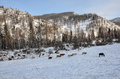 Cows horse grazing mountains snow a herd of and horses at the foot of the in the in winter Stock Images