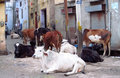 Cows in India Royalty Free Stock Photo