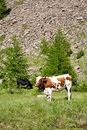 Cows and Italian Alps Royalty Free Stock Images