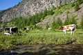 Cows and italian alps during a sunny day close to susa piedmont Stock Photos