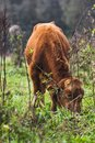 Cows kept in the green Royalty Free Stock Photo