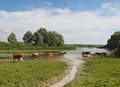 Cows are in a lake have rest hot summer weather Stock Photo