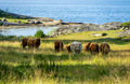 Cows in landscape meadow with cow a coastal blekinge southern sweden Stock Image