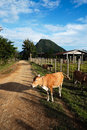 Cows in Laos Stock Photo