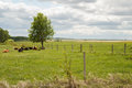 Cows laying under tree down pasture fenced clouds Stock Photos