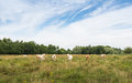 Cows looking curiously nature area grazed by white and light brown Royalty Free Stock Photography