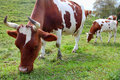Cows on a meadow Royalty Free Stock Photo