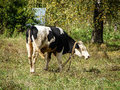 Cows in the meadow cow — female of domestic ox x lat bos taurus taurus x domesticated subspecies of wild bull x bos taurus x Royalty Free Stock Image