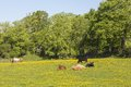 Cows on a meadow lying in the Royalty Free Stock Photos