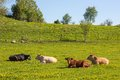 Cows on a meadow lying in the Stock Photo
