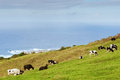 Cows on meadow over ocean Royalty Free Stock Photography