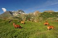Cows in mountain Royalty Free Stock Photos