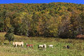 Cows in a mountain field the fall Stock Photography