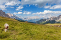 Cows on a mountain meadow pasture high in the mountains dolomites italy Royalty Free Stock Photos