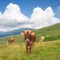 Cows on mountain pasture Stock Photos