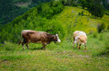 Cows in the mountains brown during spring Stock Photography