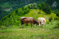 Cows in the mountains brown during spring Royalty Free Stock Image